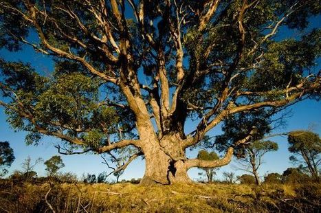 Gold Grows On Eucalyptus Trees   Science   Scoop.it