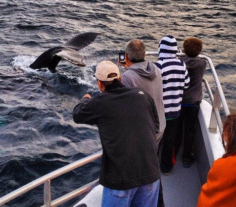 Mutt and Jeff: inseparable whales delight locals and tourists off Newfoundland | Whales | Scoop.it