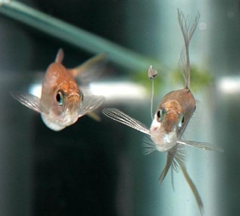 Des poissons utilisent un appât en forme de fourmi pour pêcher leur femelle. | GuruMeditation | Aquariophilie | Scoop.it