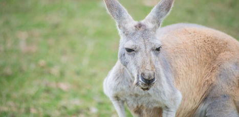 Bans on kangaroo products are a case of emotion trumping science | my universe | Scoop.it