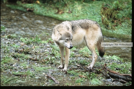 Rockies Gray Wolf Numbers Steady Despite Hunting | animals on our planet | Scoop.it