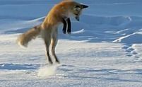 WATCH: Instinctive Fox Dives Face First in Snow to Hunt - AccuWeather.com | Environmental Education & Wildlife Conservation | Scoop.it
