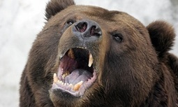 Russian town besieged by hungry bears | GarryRogers NatCon News | Scoop.it