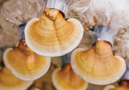 Mushroom Mania | WholeFoods Magazine | AHCC® (Active Hexose Correlated Compound, QoHL SHIITAKE®) | Scoop.it