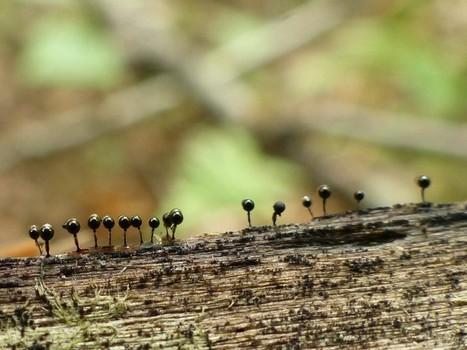 Global : Myxomycètes et apparentés - Myxomycètes non identifiés - Myxogastria - Myxomycota | Faaxaal Forum Photos gratuite Faune et Flore | Scoop.it