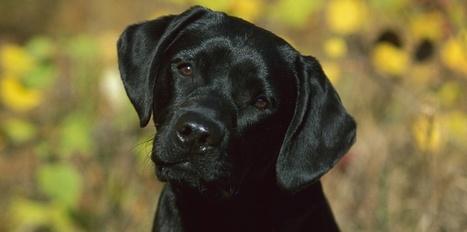 Qu'est ce que la leishmaniose canine ? | CaniCatNews-santé | Scoop.it