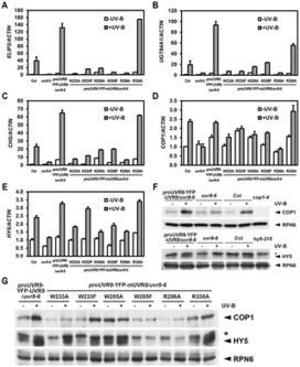 Photoactivated UVR8-COP1 Module Determines Photomorphogenic UV-B Signaling Output in Arabidopsis   UV-B   Scoop.it