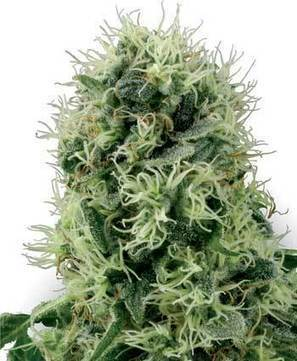 The Best Effective Ways to Choose Right Cannabis Seeds | Cannabis Seeds | Scoop.it