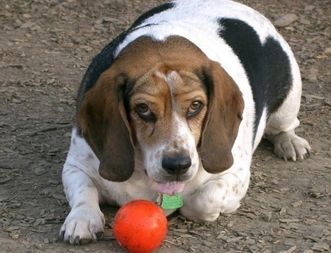 """What to do when your dog gets arthritis .. more stem cells is a successful """"Body Renewal"""" option .. click here.. 