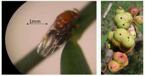 Lutte biologique : évaluation de la guêpe Trichilogaster - EFSA | EntomoNews | Scoop.it