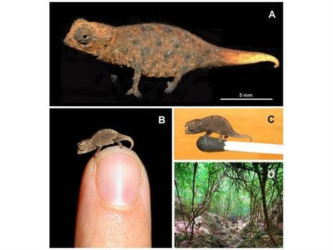 Découverte du plus petit caméléon du monde à Madagascar | Mon Web Bazar | Scoop.it