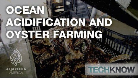 Ocean Acidification and Oyster Farming - TechKnow | Changing Chemistry - The People Impacted by Ocean Acidification | Scoop.it