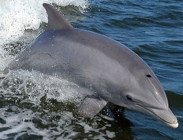 Navy dolphins find rare torpedo from 19th century off Calif. coast - Examiner.com   Dolphins   Scoop.it
