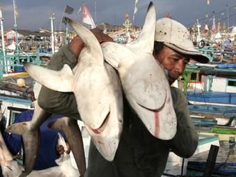 Protection étendue à dix espèces de requins et de raies | Rays' world - Le monde des raies | Scoop.it