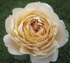 –>   Garden Rose Caramel Antike 72 Roses Global Rose | Same Day Delivery Flowers | Scoop.it