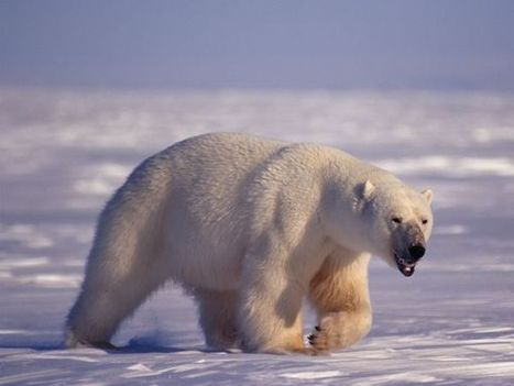 Is Pollution Weakening Polar Bears' Ability to Mate? | Nature enviroment and life. | Scoop.it