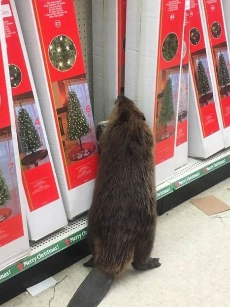 Beaver goes Christmas shopping – ends up causing chaos   Gift Ideas That You Will Love!   Scoop.it