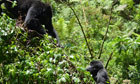 Mountain gorilla numbers rise by 10% | Rhino poaching | Scoop.it