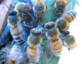 The Rural Blog: Bees develop proteins that fight colony collapse | Save the Bees | Scoop.it