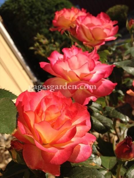 Roses, Rain and Rainbows | Gaga's Garden | Annie Haven | Haven Brand | Scoop.it