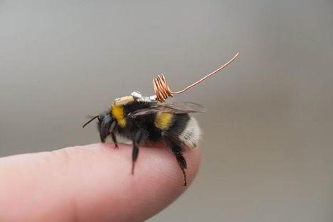 Un minuscule capteur fixé sur le dos des bourdons va permettre aux scientifiques de suivre leurs déplacements | EntomoNews | Scoop.it