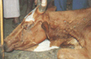 What you should know about the lumpy skin disease of cattle | Animal Science | Scoop.it