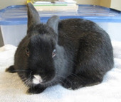 Bunny's Blog: Adoptable Bunnies from Animal Rescue League | Pet News | Scoop.it