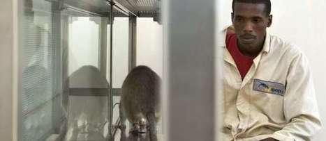 Mozambique : des rats dressés pour détecter la tuberculose   Santé & Médecine   Scoop.it