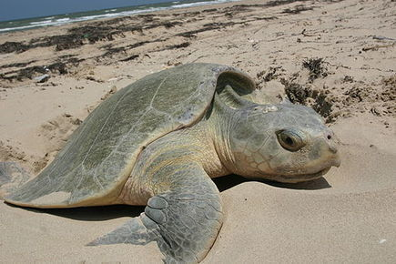 The Mystery of the Recovery of the World's Most Endangered Turtle - Conservation Articles & Blogs - CJ | Wildlife and Conservation | Scoop.it