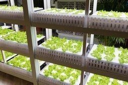 Japanese Robotic Farm's First Harvest Next Year—Half a Million Lettuces a Day | Amazing Science | Scoop.it