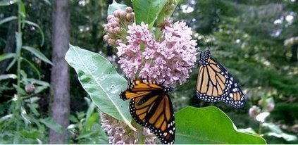 Arizona scientists play role in saving the monarch butterfly | Ag Professional | CALS in the News | Scoop.it