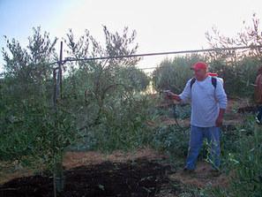 Olive Tree Farm and Nursery of California Pest and Disease Information   olivetreefarm   Scoop.it