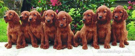 Irish-Setter   My Favourite Dogs   Scoop.it