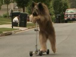 Dog on scooter training to set world record | Strange days indeed... | Scoop.it