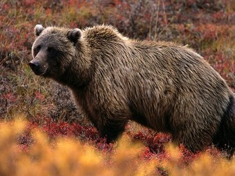 Grizzly Bears, Grizzly Bear Pictures, Grizzly Bear Facts - National Geographic | Bears | Scoop.it