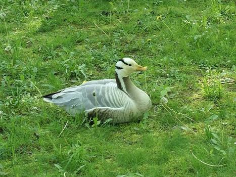 Photos d'oiseaux : Oie à tête barrée - Anser indicus - Bar-headed Goose | Fauna Free Pics - Public Domain - Photos gratuites d'animaux | Scoop.it