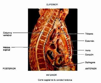 Cavidades corporales - Temas de estudio para la anatomía humana ... | PECTUS | Scoop.it