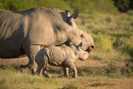 Helping Rhinos Thandi Story - YouTube | What's Happening to Africa's Rhino? | Scoop.it