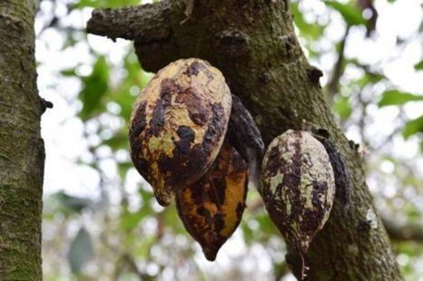 Agriculture : Des chenilles menacent le cacao ivoirien | Les colocs du jardin | Scoop.it