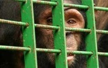 Frans de Waal: We Should Only Do Experiments on Chimpanzees That We're Willing to Do on Humans | Empathy and Animals | Scoop.it