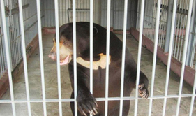 Sun Bears rescued from Garment Factory | Wildlife Trafficking: Who Does it? Allows it? | Scoop.it