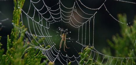 Good vibrations: spider signal threads reveal remote sensing design secrets | University of Oxford | Biomimétisme, Biomimicry, Bioinspired innovation | Scoop.it