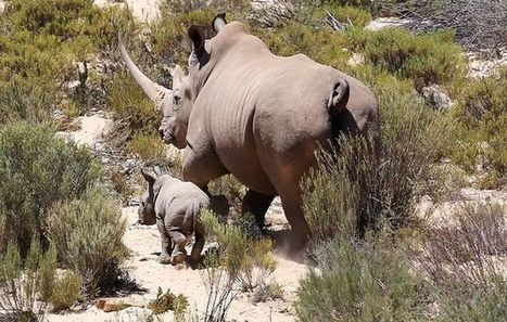 DEA Drafts New Laws on Rhino Hunting | What's Happening to Africa's Rhino? | Scoop.it