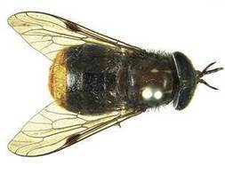 Horse fly with golden rear-end named after Beyonce | No Such Thing As The News | Scoop.it