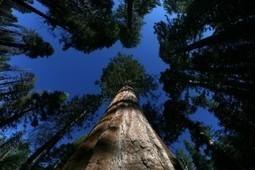 Plantan clones de árboles antiguos   Era del conocimiento   Scoop.it
