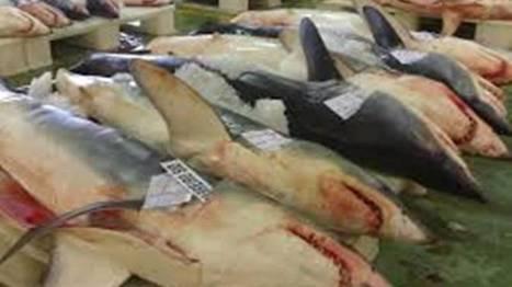 RTBF.be   L'homme et le requin : lequel est le prédateur ?   L'actualité de l'Université de Liège (ULg)   Scoop.it