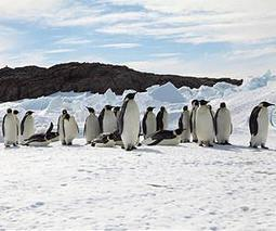 How huddling penguins share heat fairly | OUR OCEANS NEED US | Scoop.it