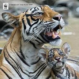 Etude WWF/TRAFFIC : le trafic de tigres en Asie ne ralentit pas | Biodiversité | Scoop.it