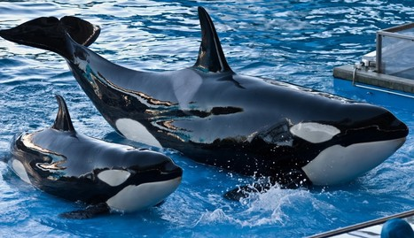 Ex-SeaWorld Trainer Reveals Troubling Truth About Breeding Orcas | All about water, the oceans, environmental issues | Scoop.it