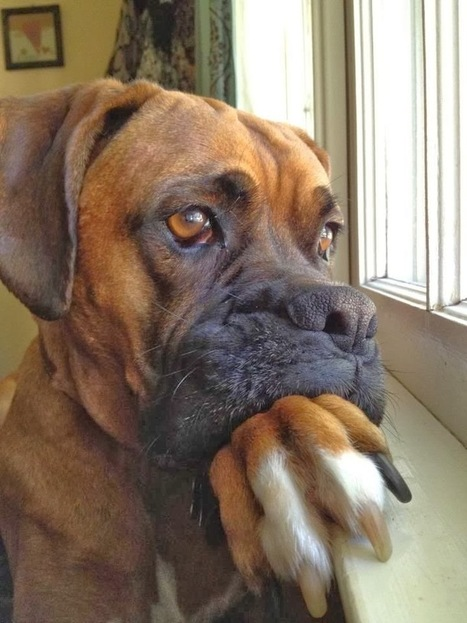 Funny Pictures Of Dogs: Big Dog Also Sad | Funny Animal Pictures | Scoop.it